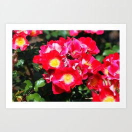 Camellia Sasanqua Art Print
