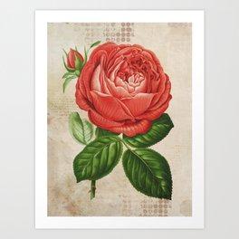 Red Hybrid Perpetual, Paul Neyron Rose Vintage Print Art Print
