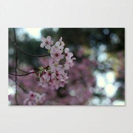 Blooming sacura Canvas Print
