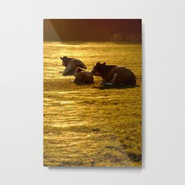 Sitting Cows Metal Print
