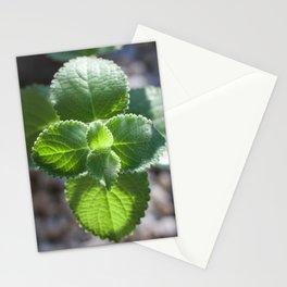 Plectranthus argentatus Stationery Cards