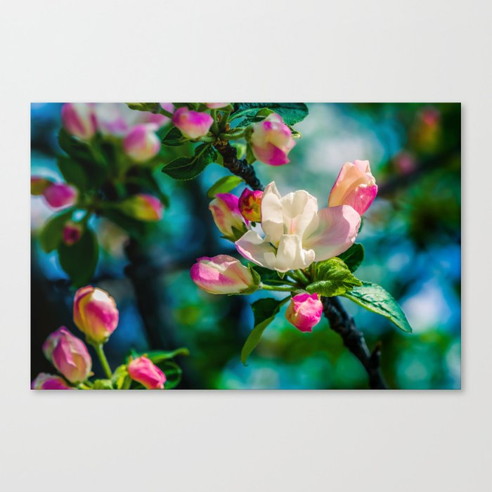 Crabapple flower and buds Canvas Print