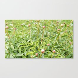 Flower Bush Unbloomed - Peonies Canvas Print