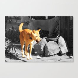 The Dingo Canvas Print