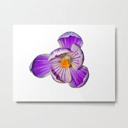 Crocus flower purple/pink Metal Print