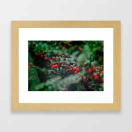 Cotoneaster Berries Framed Art Print