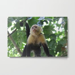 Capuchin Monkey Metal Print