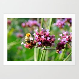 Carder Bumble Bee on Verbena Art Print
