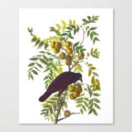 American Crow Vintage Bird Illustration Canvas Print