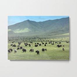 Tibetan Yaks in Sichuan, China Metal Print
