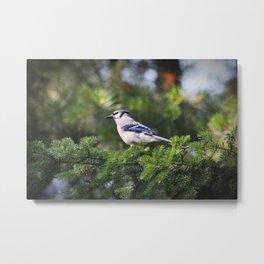 Adult Bluejay Bird Color Photo Metal Print