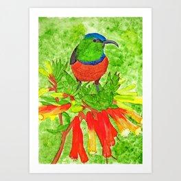Double Collared Sunbird Art Print