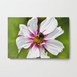Dogbane Beetle Eating Flower Metal Print