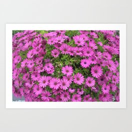 Beautiful Purple Cape Daisies Art Print