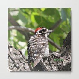 A Nuttal's Woodpecker Up a Tree Metal Print