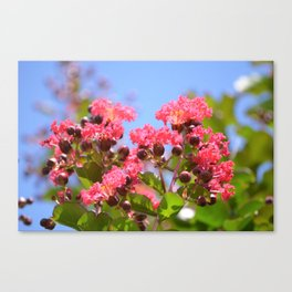 Blooming Pink Crepe Myrtle Flowers Canvas Print