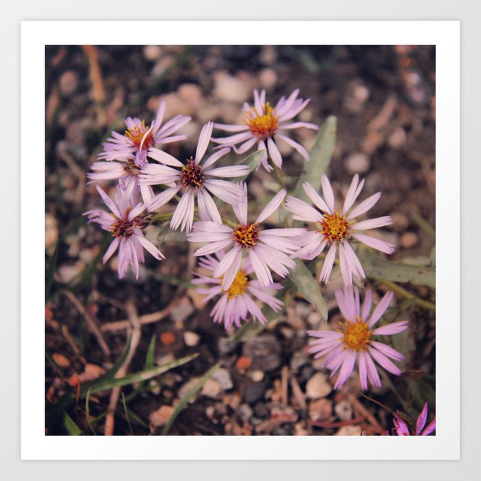 Colorado Purple Asters Art Print
