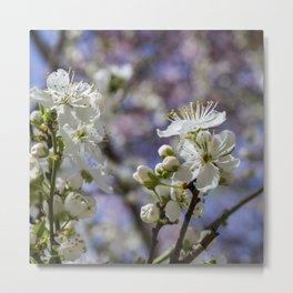 Cherry tree. Sakura. Metal Print