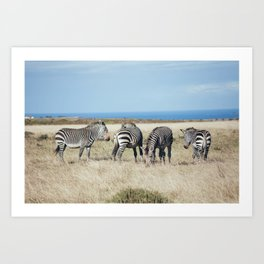 Four Zebras Art Print