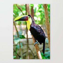 Yellow-Throated Toucan Canvas Print