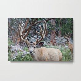 Mule Deer - Glacier National Park Metal Print