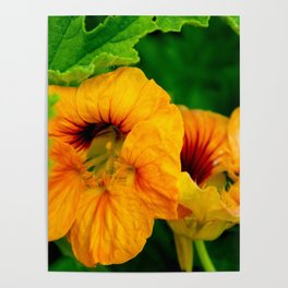 yellow majus flower Poster