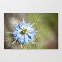 Blue flower close up Nigella love in the mist Canvas Print