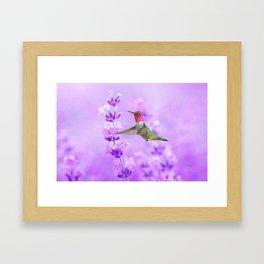 Anna's Hummingbird in Field of Lavender Framed Art Print