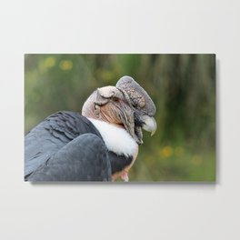 Male Andean Condor Metal Print