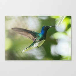 Sip - Jacobin Hummingbird Canvas Print