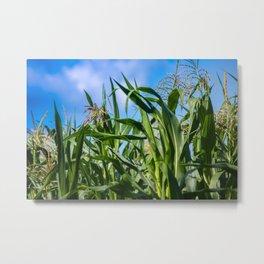 Corn Field Blue Sky Close-up Metal Print