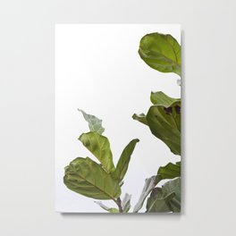 Fiddle Leaf Fig     The Houseplant Collection Metal Print