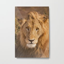 Lion in early morning sunlight in Kruger NP, South Africa Metal Print
