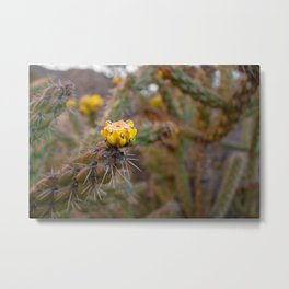 Cane cholla cactus (walking stick cholla) with yellow blossoms in Albuquerque, New Mexico Metal Print