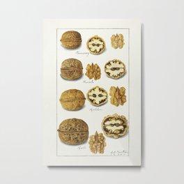 Walnuts (Juglans) (1911) by Amanda Almira Newton. 2 Metal Print