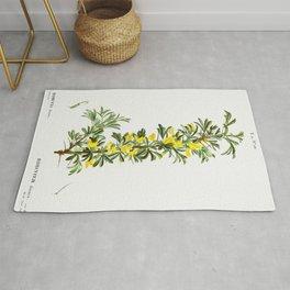 Mountain-laurel (Kalmia latifolia) from Traite des Arbres et Arbustes que lon cultive en France en p Rug
