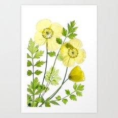 Meconopsis Cambrica Art Print