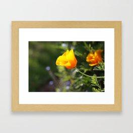 Sunlit Eschscholzia californica Framed Art Print