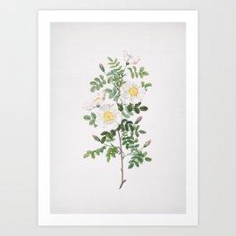 Vintage White Burnet Rose Illustration Art Print