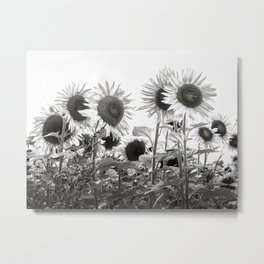 Beautiful Field of Proud Sunflowers in Black and White Metal Print