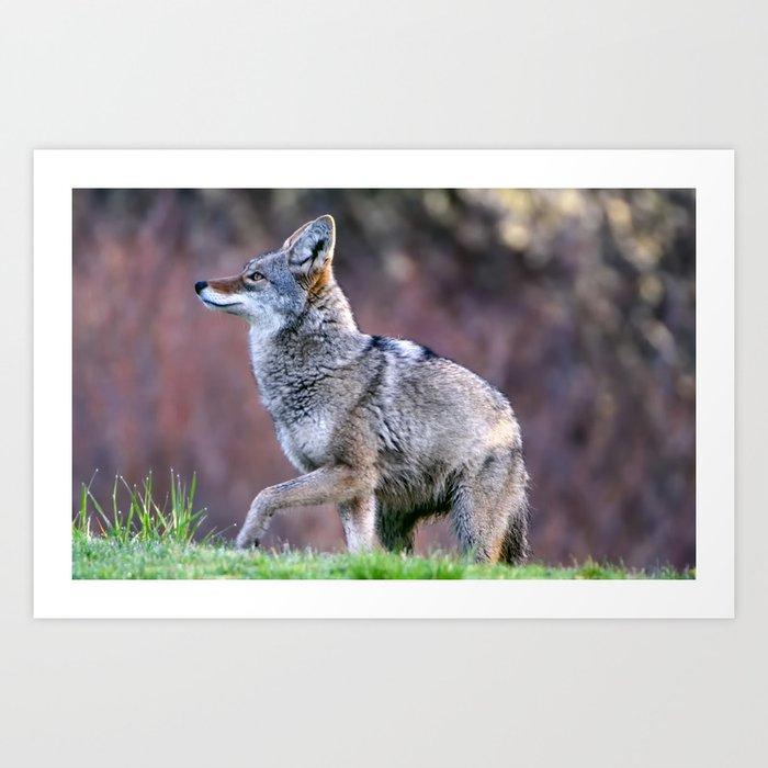 Wild coyote on the hunt Art Print