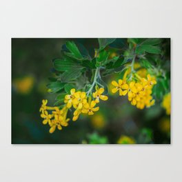 Yellow Blossoms 3 Canvas Print