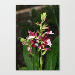 Nun's Orchid Canvas Print