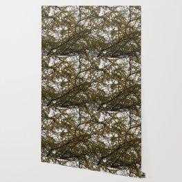 Acacia Golden Mimosa Wallpaper