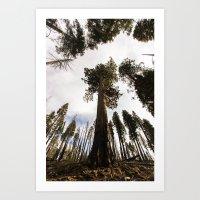 Sequoia Lookup Art Print
