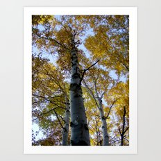 northern ontario birch part 2 Art Print