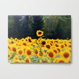 Multi-headed Sunflower Stands Alone Metal Print