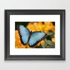 Blue Morpho Framed Art Print