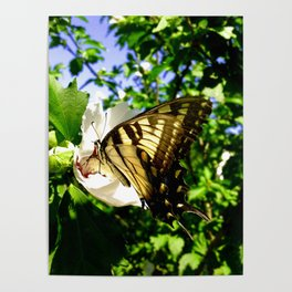 Swallowtail Butterfly Inside Hibiscus Blossom Poster