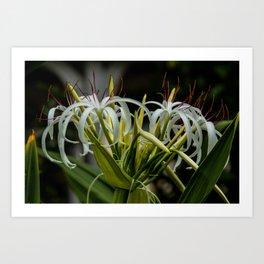 White Spider Lilly Art Print